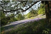 SO7641 : Bluebells on the slopes of Black Hill by Bob Embleton
