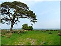 NY5172 : Field and pine tree near Longrigg by Oliver Dixon