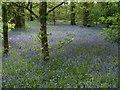 SX0864 : Bluebells in The Belts by Derek Harper
