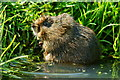TQ3643 : Water Vole at the British Wildlife Centre, Newchapel, Surrey by Peter Trimming