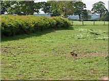 SE7975 : Hare in paddock by Pauline E