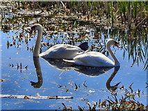 SD7908 : Swans by David Dixon