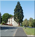 ST2890 : Towering conifer, Lambourne Way, Bettws, Newport by Jaggery