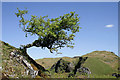 NM8026 : A small hawthorn tree on Kerrera by Walter Baxter