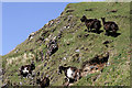 NM8026 : Feral goats on Kerrera by Walter Baxter
