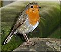 TQ1876 : Robin (Erithacus rubecula) by Christine Matthews