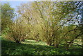 TQ3650 : Coppiced trees by The Greensand Way by N Chadwick