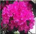SJ8855 : Rhododendron flower cluster by Jonathan Kington