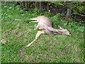 NZ2402 : Poor dead deer, Uckerby by Maigheach-gheal