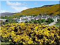 ND0215 : Gorse in profusion, Helmsdale by Robin Drayton