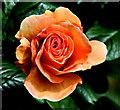 "J3372 : Rose ""Milord"", Belfast by Albert Bridge"