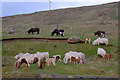 HP5701 : Shetland ponies at Snarravoe by Mike Pennington