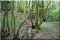 TQ8331 : Small woodland stream and coppiced trees by N Chadwick