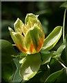SX9050 : Tulip tree flower, Coleton Fishacre by Derek Harper
