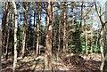 TQ4351 : Conifers, The High Chart by N Chadwick