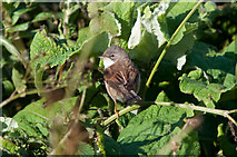 SS9168 : Common Whitethroat - Nash Point by Mick Lobb