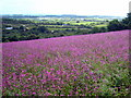 SW7432 : Field of Red Campion (Silene dioica) at Goodygrane by Rod Allday
