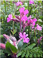 SW7432 : Red Campion flowers (Silene dioica) by Rod Allday