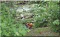 TQ5682 : Fox nr pond, Running Water Brook, Belhus by Roger Jones