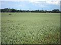 TR0253 : Wheat fields off Shottenden Lane by Oast House Archive