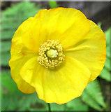 SJ8959 : Flower of the Welsh Poppy by Jonathan Kington