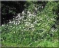 SJ8959 : Ox-eye Daisies by Jonathan Kington