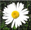 SJ8959 : Ox-eye Daisy flower by Jonathan Kington