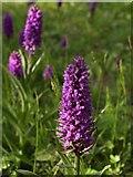 SX9066 : Southern marsh orchids, Barton tip by Derek Harper
