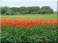 TG4905 : Poppies in field above Burgh Castle Marshes by Evelyn Simak