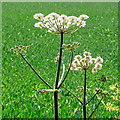 SE9000 : Anthriscus sylvestris, cow parsley by Jonathan Billinger