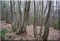 TQ8131 : Coppiced trees, Willerd's Hill Wood by N Chadwick
