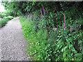 SJ8954 : Foxgloves by the path by Jonathan Kington
