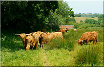 SZ5885 : Highland Cattle, Near Alverstone by Peter Trimming