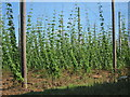 TQ8128 : Hoad's Farm hop field by Oast House Archive