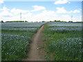 SU6562 : Path through flax by Sandy B