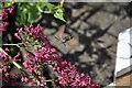 SO5917 : Hummingbird Hawk Moth by Stuart Wilding