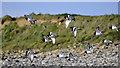 HY2427 : Oystercatchers, Birsay by Stuart Wilding