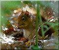 SZ0287 : Why Red Squirrels are Sometimes Hard to see by Peter Trimming