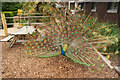 TQ5337 : Peacock by Richard Croft