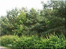 SE3664 : Trees beside Boroughbridge Road by JThomas