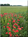 SK8769 : Poppies in the barley by Richard Croft