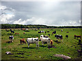 SD4381 : Cows and calves near Meathop by Karl and Ali