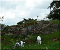 SD4483 : Geese and goats, Longhowe End by Karl and Ali