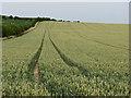 TL4854 : Wheatfield on Limekiln Hill by John Sutton