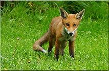 TQ3643 : Fox cub by Peter Trimming