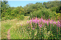 SK4833 : Path with Rose Bay Willow Herb by David Lally