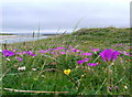 NM1153 : The machair in bloom at Traigh Halum by Gordon Brown