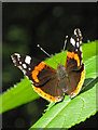 SE3244 : Red Admiral at rest by Pauline E