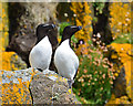 NG4176 : Razorbills at Rubha Hunish by John Allan