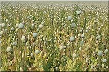 SU5985 : Field of poppy heads by Philip Halling